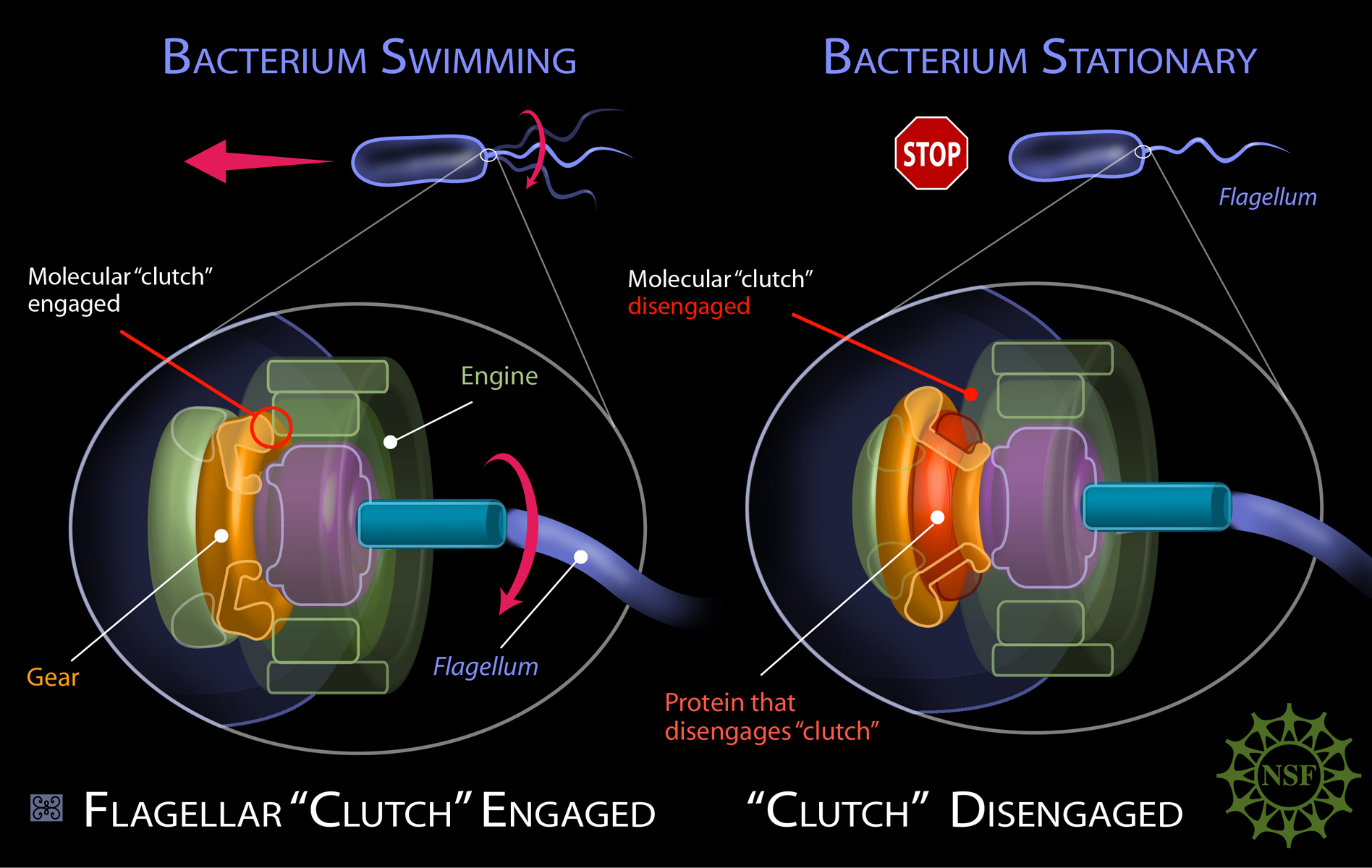 Molecular 'Clutch' Of Bacterium Is Detached By Protein | Science 2.0