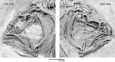 Flatfish Fossils Fill Evolutionary Gap (like Why It Has Two Eyes On One Side Of Its Head)