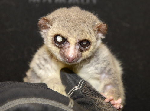Jonas the lemur defied his small size by living to the age of 29. David Haring, Duke Lemur Center