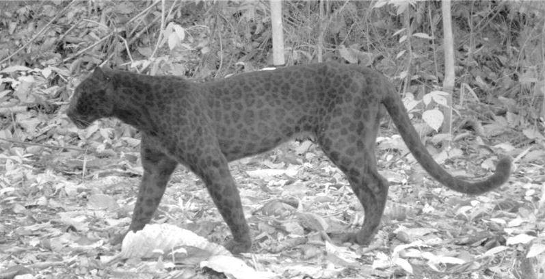 Even Black Panthers Have Leopard Spots