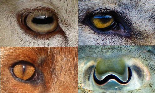 Why Animal Pupils Come In Different Shapes And Sizes