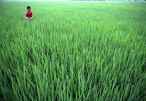 Rice Growers In China Are More Sexually Liberal Than Wheat Growers - Here's Why