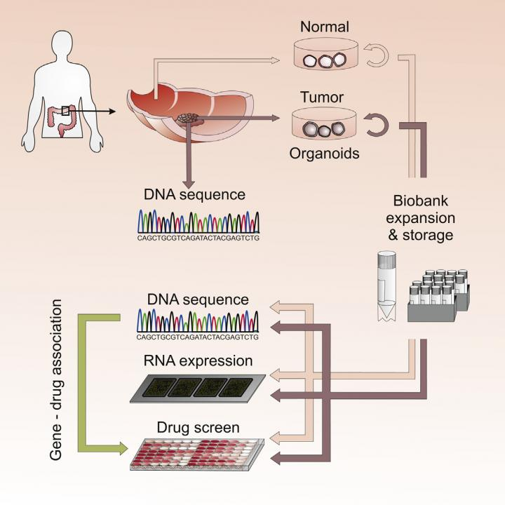 'Organoids' - Living Biobank Of 3D Cultures Personalizes Cancer Drug Screening