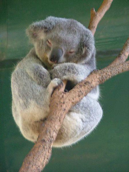 The Call Of The Koala