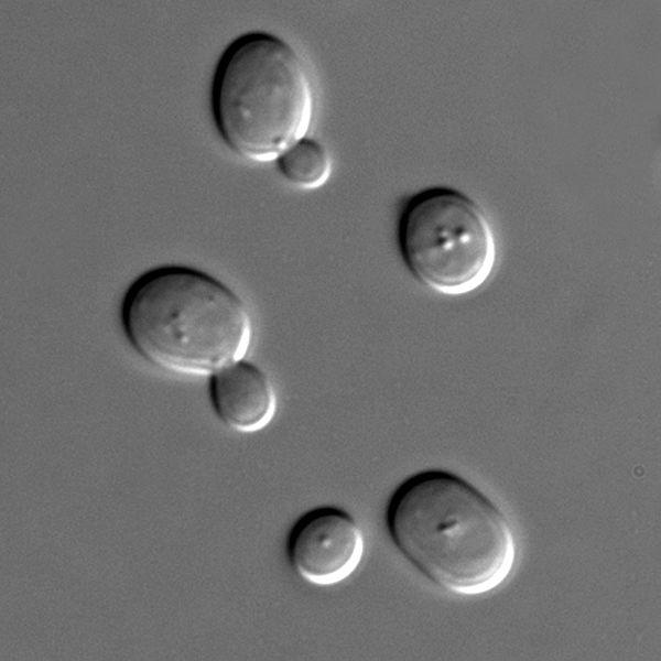 Synthetic Yeast Chromosomes