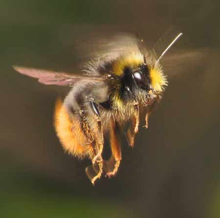The Prevalence Of Bees In American Musical Recordings