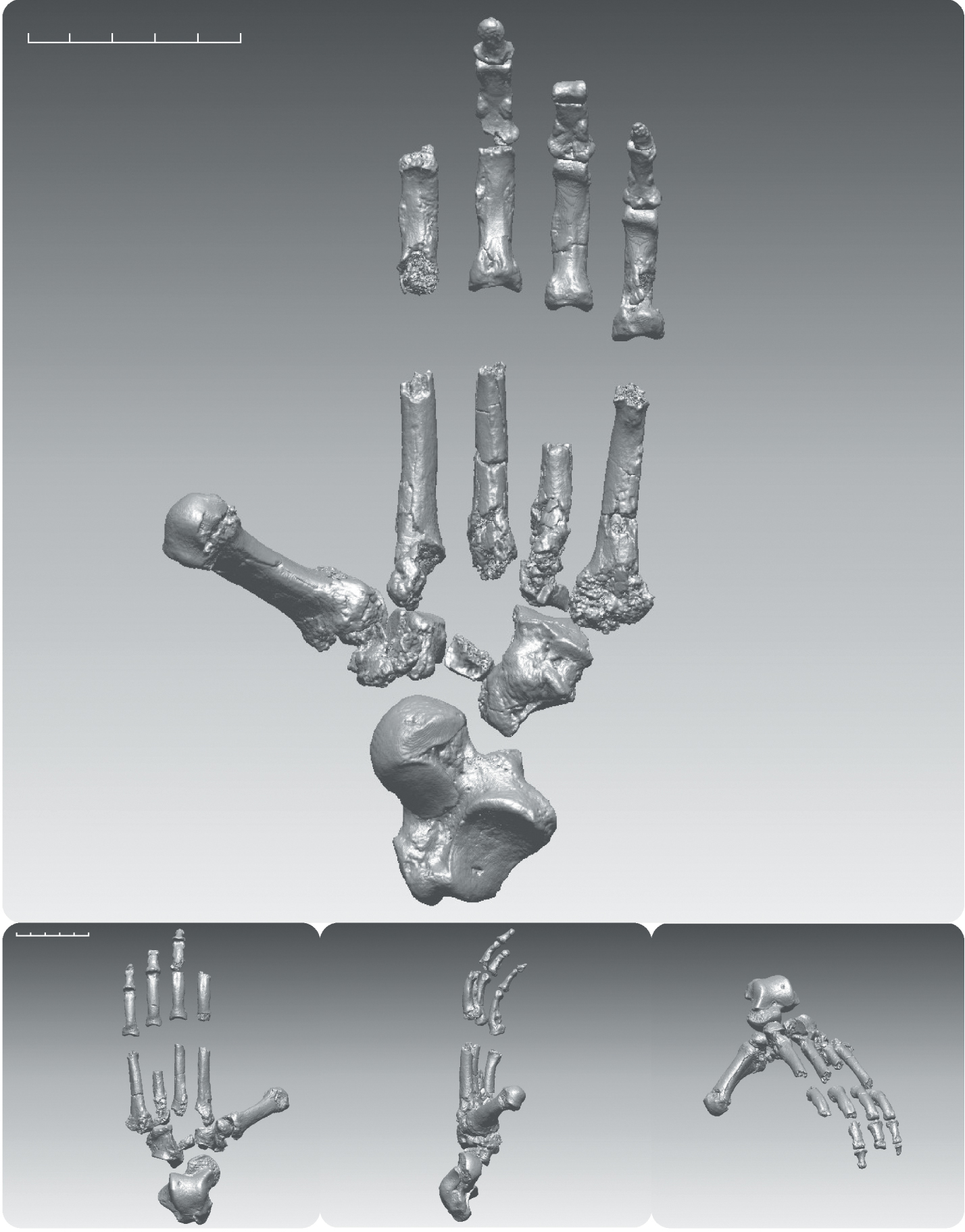 Ardipithecus ramidus digitally rendered composite foot