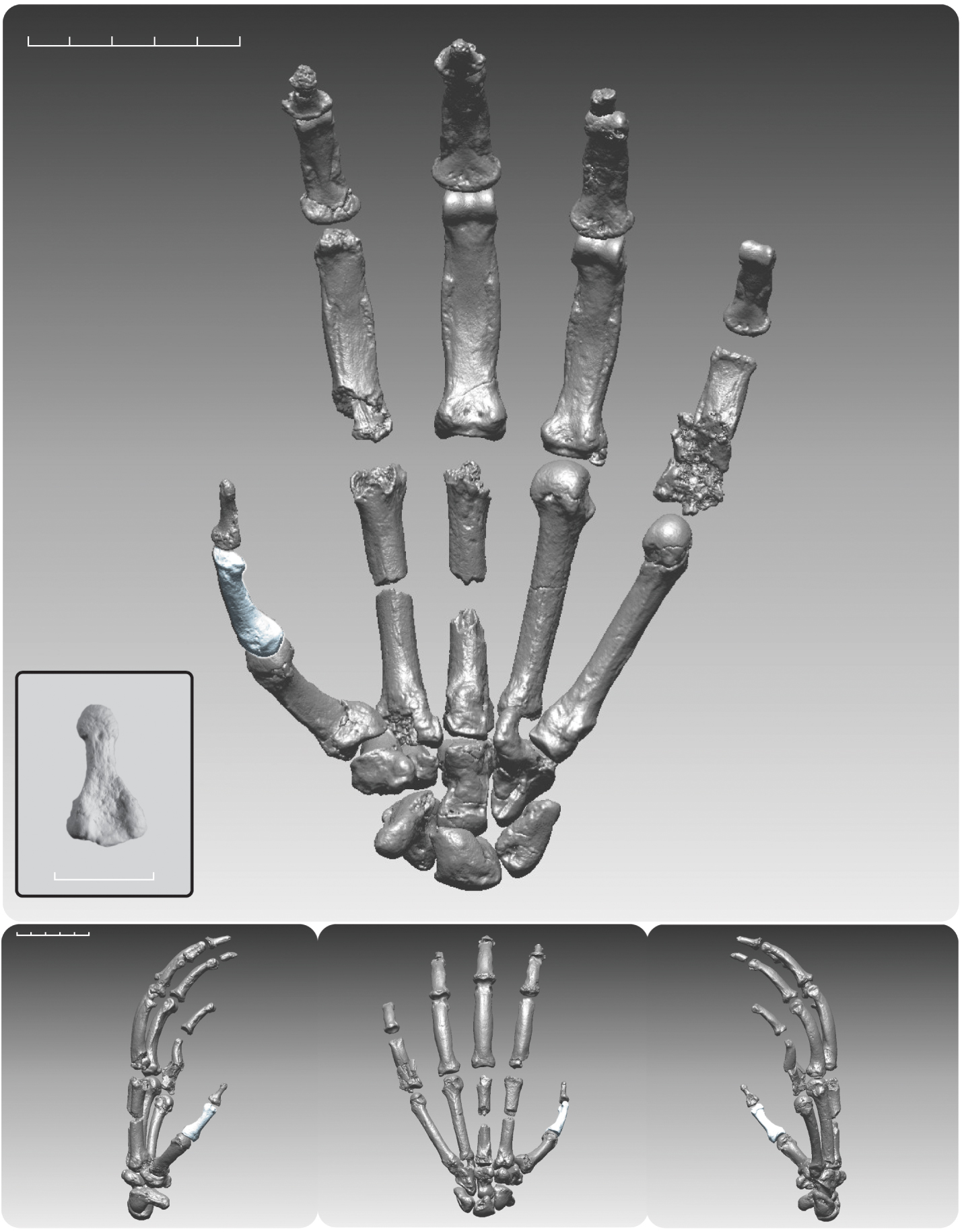 Ardipithecus ramidus digitally rendered composite hand