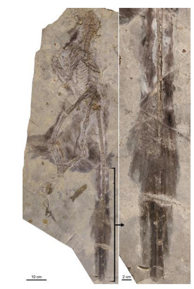 Four-Winged Fossil Sheds Light On Dinosaur Flight