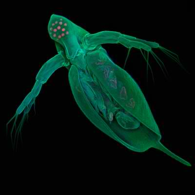 Daphnia Pulex - More Genes Don't Make You Better But They May Help The Environment