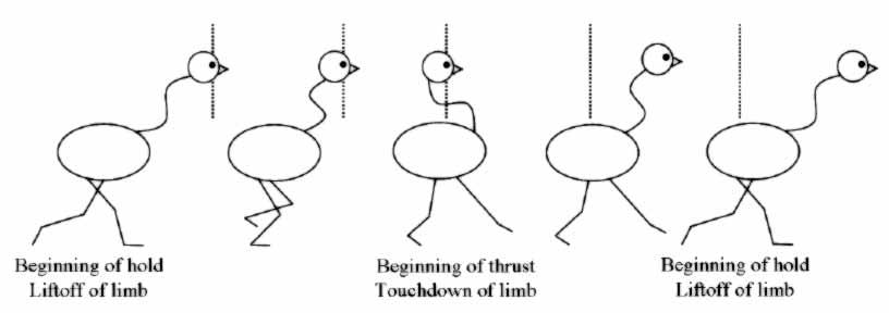 Head Bobbing In Birds - The Science