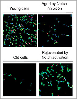 Human muscle stem cell regenerative activity is depicted in green and red