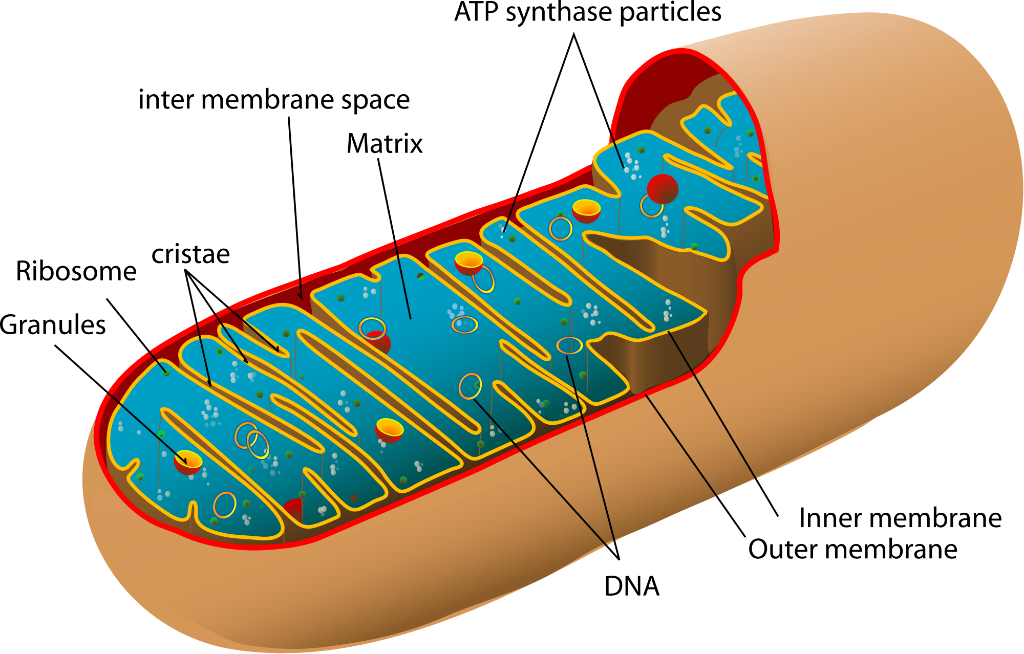 Mitochondrion diagram by Mariana Ruiz Villarreal