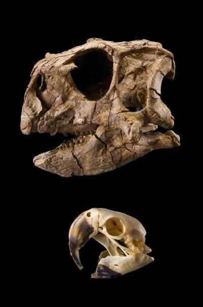 Imagem demonstrativa entre um Dinossauro Psittacosaurus gobiensis e uma arara
