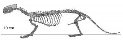 Puijila darwini Skeleton NUFV 405 Holotype