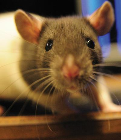 Googly Eyes: Those Of Rats Go In Opposite Directions In Both The Horizontal And Vertical Plane