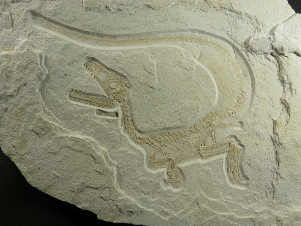 Newly discovered dinosaur implies greater prevalence of feathers