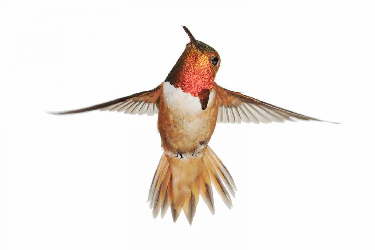No Hummingbird Collapse; They're In A Boom