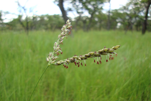 Grasses Have Been Genetically Modifying For Millenia - By Stealing
