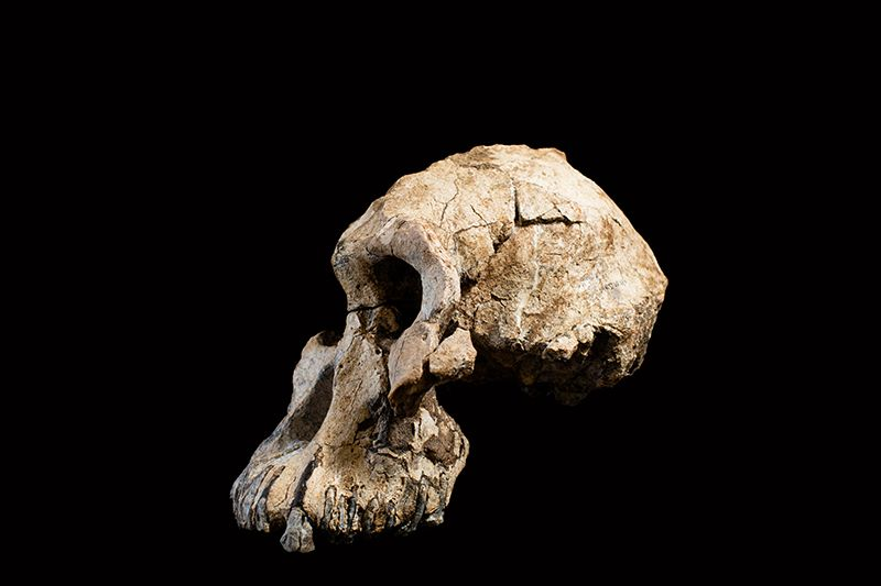 MRD-VP-1/1: The Face Of Lucy's Ancestor, Australopithecus Anamensis, 3.8 Million Years Ago