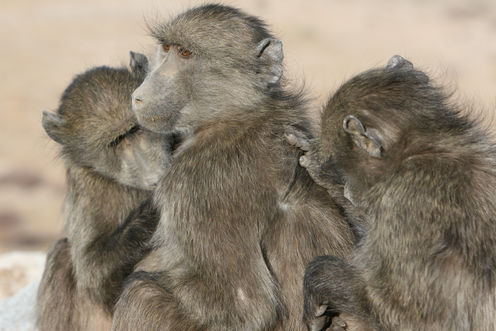 What Baboons Can Teach Us About Social Media