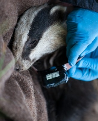 Of Badgers, Cattle, And Bovine TB