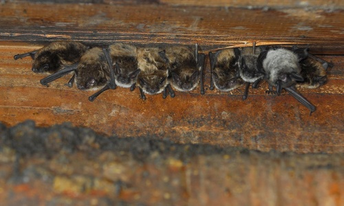 Bats In The Belfry May Be Needed For Conservation