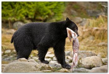 bear eating giant squid