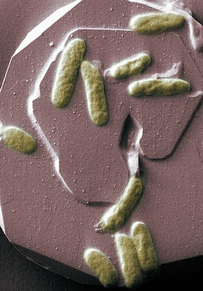 Bacterial 'Bio Batteries' Get A Step Closer