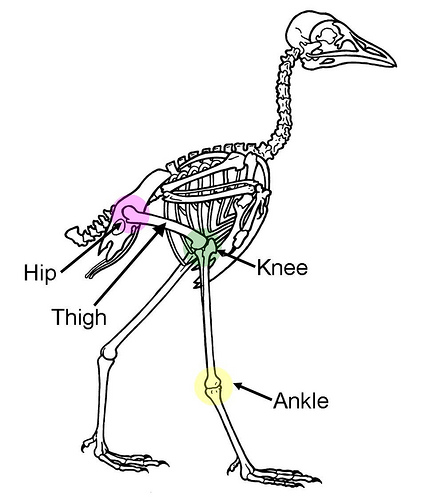 birds are not dinosaurs knee structure