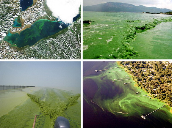 Causes, Effects and Management of 'Blue Green Algae' Cyanobacteria ...