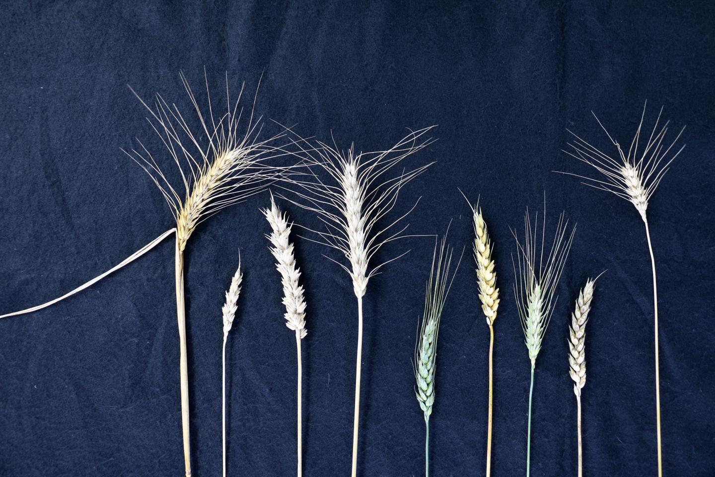 Feeding The World For Thanksgiving 2050: New Wheat And Barley Genomes