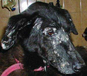 Leishmaniosis: Dog To Dog Transmission Without Biting Reported