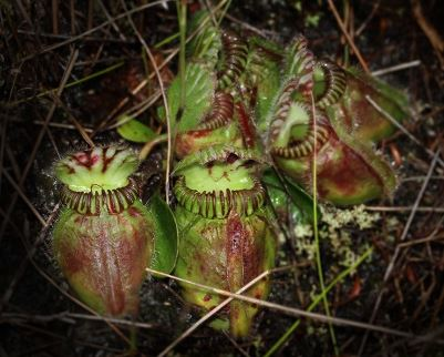 Convergent Evolution: Why Some Plants Became Carnivorous