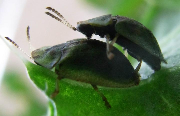 How Beetles Have Sex With Such A Long Penis