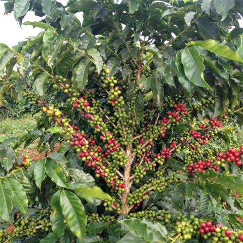 If Science Reduces The Biennial Effect In Coffee, Developing Nations Win