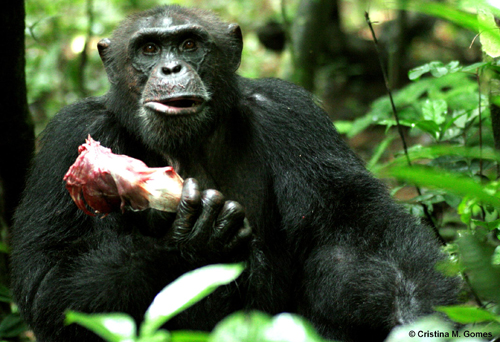 The Recipe For Chimpanzee Reproductive Success?   Bring Home The Bacon (Literally)