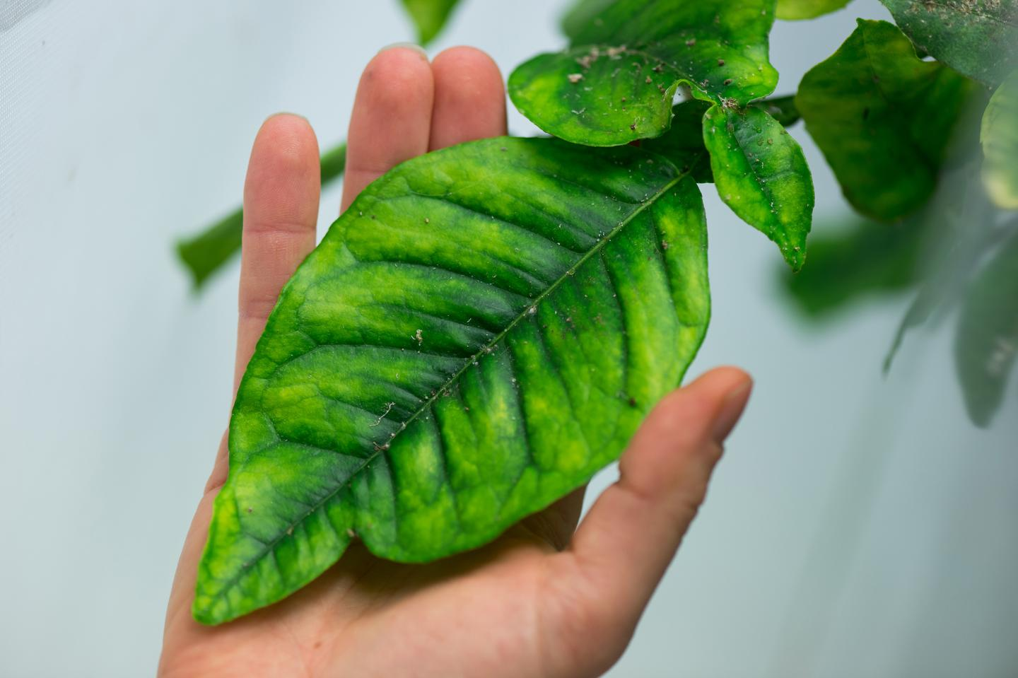 Citrus Greening Disease's Gut-Wrenching Effect On Insect Vector