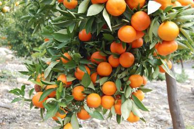 Citrus Fruit And Tea May Reduce Ovarian Cancer Risk