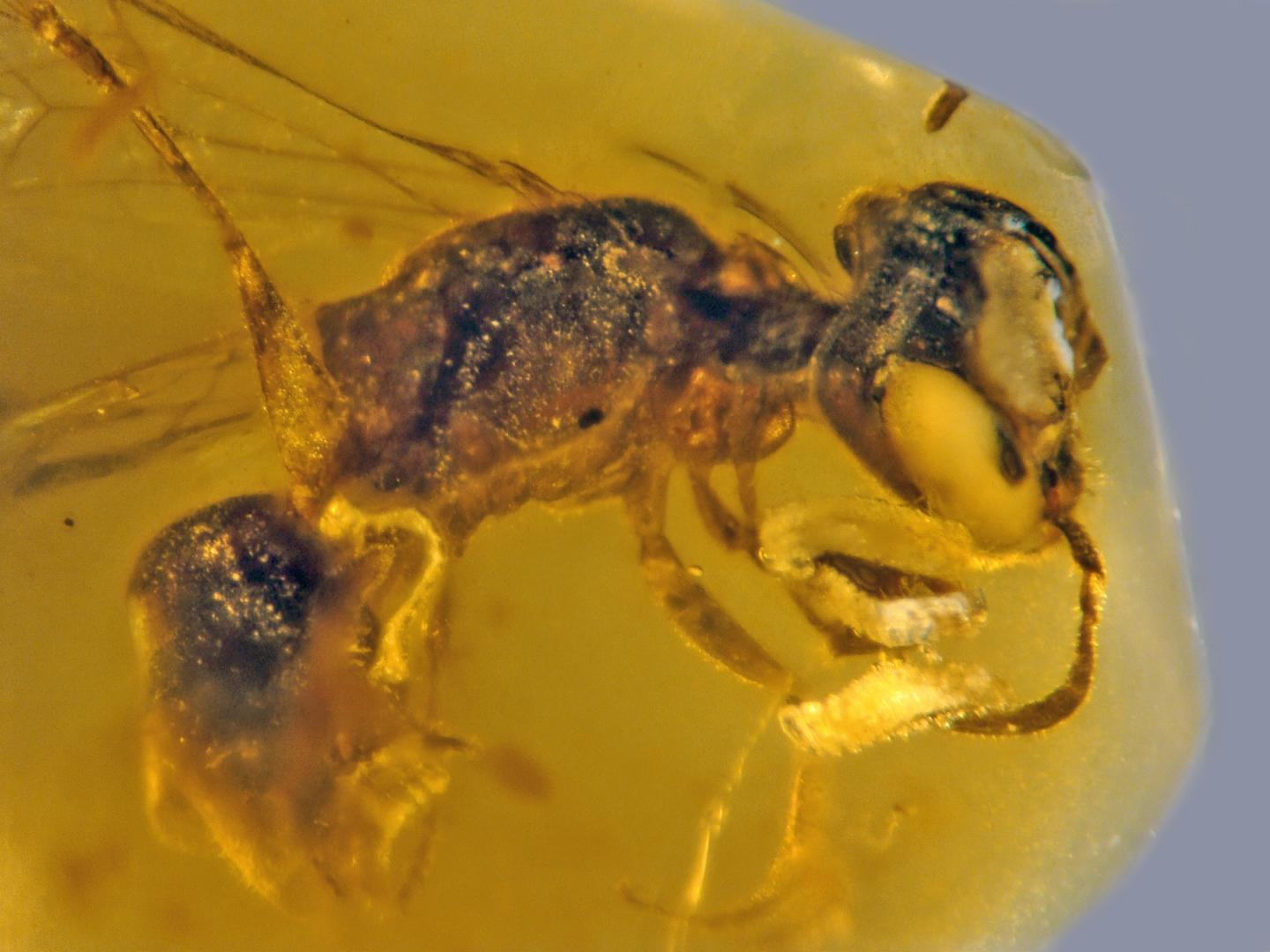 Discoscapa Apicula: Oldest Record Of Primitive Bee With Pollen Dates Back 100 Million Years