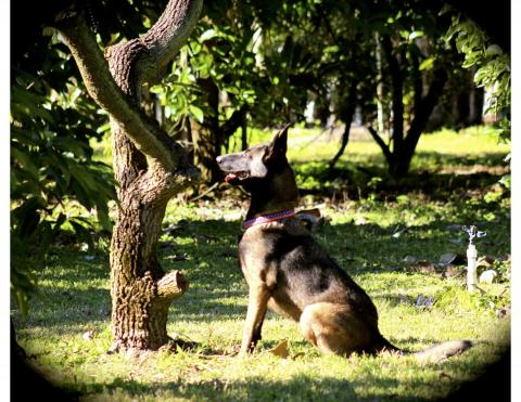 Dogs Can Detect Laurel Wilt Disease In Avocado Trees