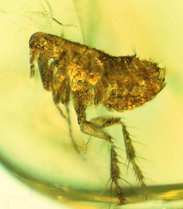 Ancient Flea Bacteria May Be Ancestor Of The Black Death