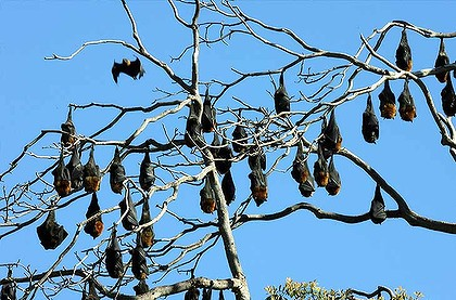 Flying Foxes in tree