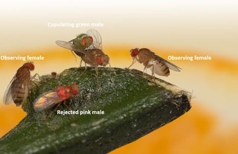 Fruit Flies Have The Cognitive Ability To Learn Sexual Preferences - And Perhaps Transmit Them Culturally