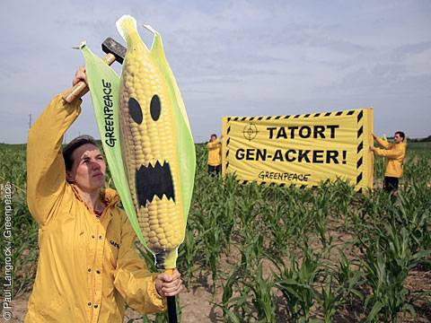 Illegal PIONEER Genetic Corn-Maize Field in Germany with GREENPEACE Activists