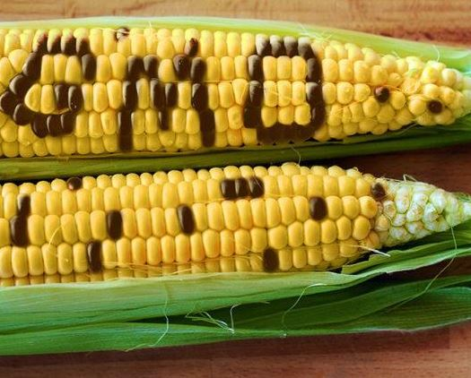 Endophytes: Study Shows GMO Corn Has No Impact On Good Bacteria