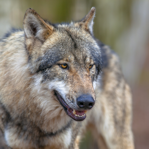 Academics Disagree With Wildlife Biologists On Wolf De-Listing