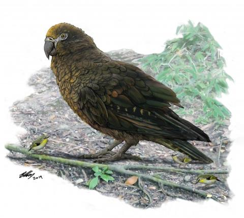 Heracles Inexpectatus The World S Largest Parrot Has Been Discovered Science 2 0
