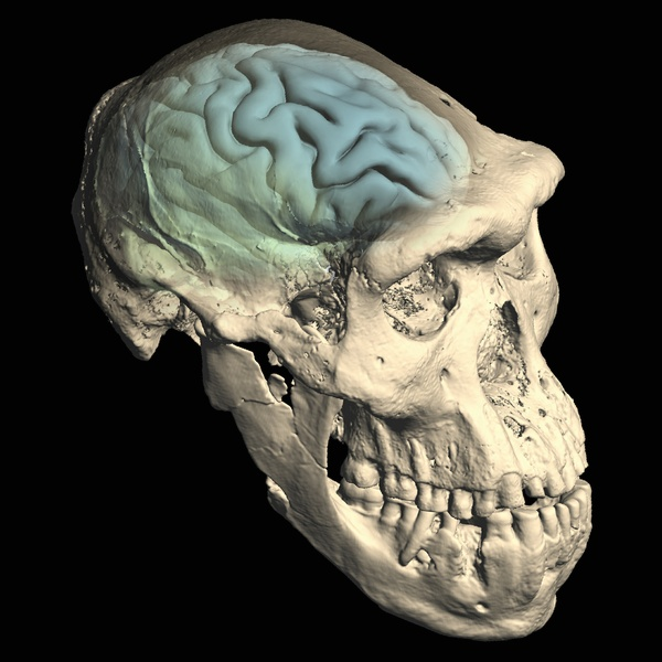 The Human Brain: Where And When It Evolved