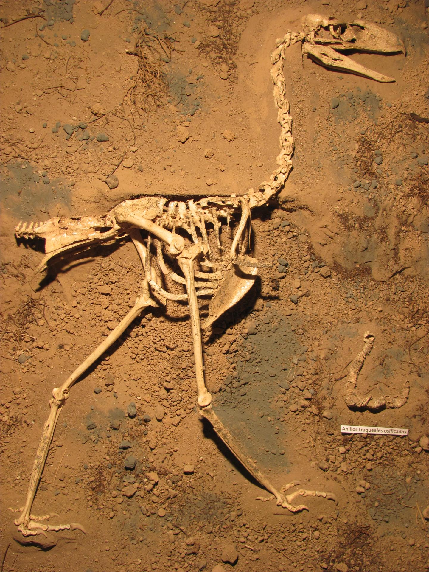 New Species Of Ancient Terror Bird, Llallawavis Scagliai, Discovered